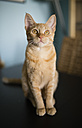 Portrait of tabby cat sitting on a table looking up - RAEF000587