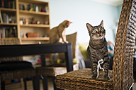 Tabby cat standing on wicker chair while kitten sitting on table in the background - RAEF000590