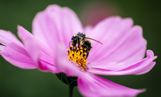 Honeybee on pink Mexican Aster - MGOF000952