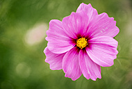 Pink Mexican Aster - MGOF000955