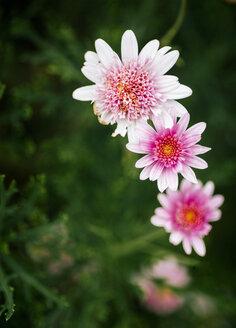 Pink Alpine Aster - MGOF000961