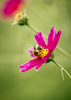 Honeybee on pink Mexican Aster - MGOF000964