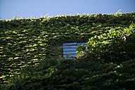 Italy, Tuscany, Maremma, house overgrown with Virginia creeper - RIBF000348