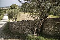 Italy, Tuscany, Maremma, olive tree at stone wall - RIBF000363