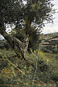 Italy, Tuscany, Maremma, olive tree on hill - RIBF000366