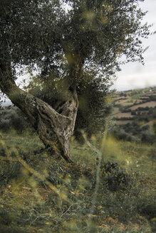 Italy, Tuscany, Maremma, olive tree on hill - RIBF000366