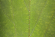 Green leaf, close up - ERLF000073
