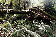 Canada, Vancouver Island, redwoods and ferns in rain forest - TMF000041