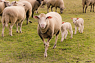 Flock of sheep with lambs on a pasture - YFF000473
