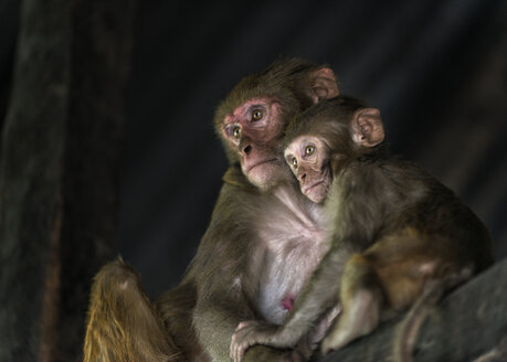 Nepal, Kathmandu, two Rhesus Macaque Monkeys - ALRF000080