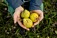 Girl's hands holding three pears - LVF004142