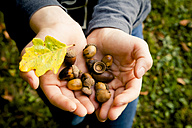 Girl's hands holding acorns - LVF004148