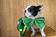 French Bulldog dressed up with big green bow tie - KIJF000023