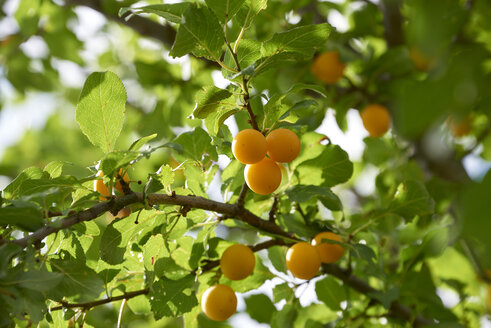 Greengages in tree - SRSF000596