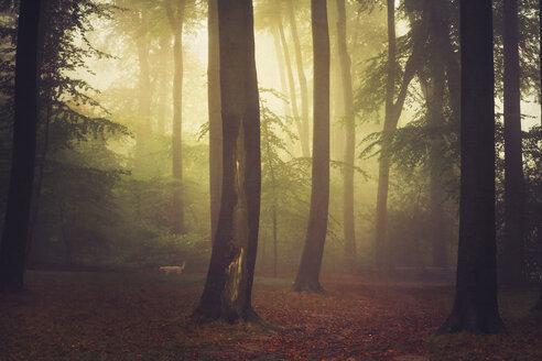 Beech grove and fog, digitally manipulated - DWI000635