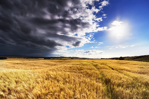 Scotland, East Lothian, Field of barley against the sun - SMAF000392