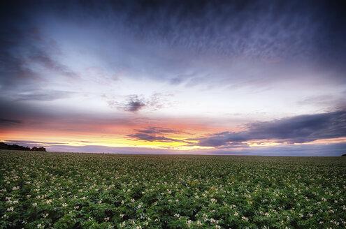 Scotland, East Lothian, sunset over potato field - SMAF000395