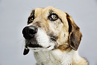 Portrait of a mongrel in front of grey background - JATF000773