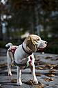 Dog on leash - MAUF000056