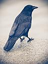 Black raven - KRP001649