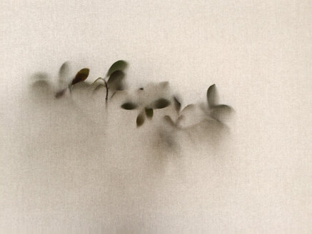 leaves of a plant behind fabric, studio shot - BMA000077