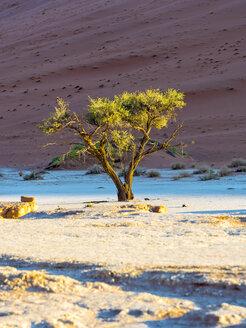 Namibia, Naukluft Park, Namib Desert, Dead Vlei, camel thorn in front of dune - AMF004530