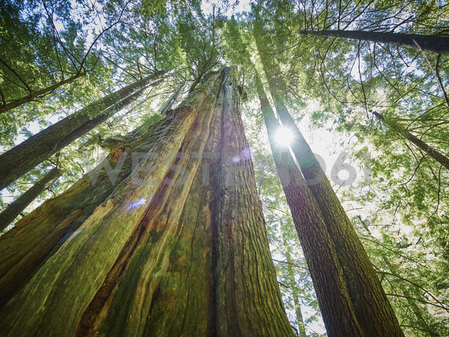 Canada, British Columbia, Redwood Forest, Giant Redwoods, Sequoioideae - DISF002274