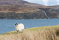 UK, Scotland, Isle of Skye, sheep with Atlantic ocean and cliffs in the background - JBF000253