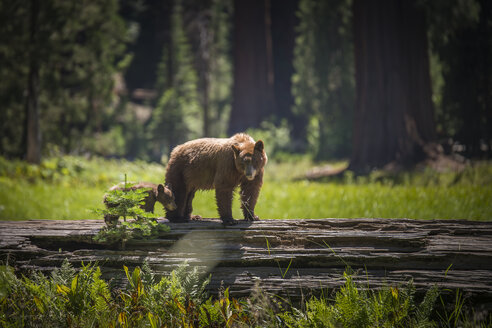 USA, Sequoia National Park, Brown bear and brown bear cub - STCF000109