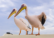 Namibia, Erongo Province, two white pelicans standing side by side on a wall - AMF004598