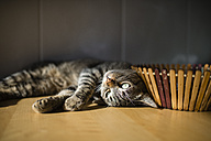 Tabby cat relaxing at home - RAEF000759