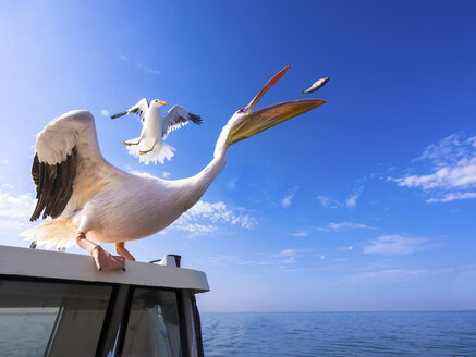 Namibia, Erongo Province, white pelican standing on top of a boat catching a fish - AMF004605