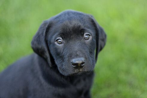 Portrait of black Labrador puppy - MJOF001129