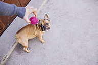 French bulldog looking up to ball held by owner - GEMF000612