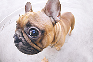 Funny portrait of French bulldog - GEMF000615