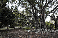 USA, Florida, Fort Myers, Indian banyan - CHPF000167