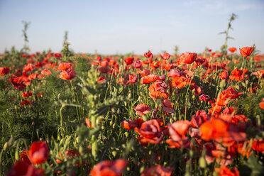 Austria, Lower Austria, field of poppies - AIF000184