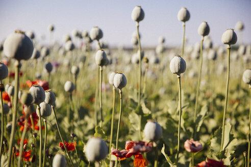 Austria, Lower Austria, field of poppies, poppy seed capsules, unripe - AIF000187