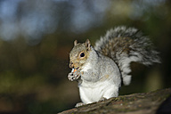 Portrait of eating grey squirrel - MJOF001132