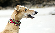 Spain, Llanes, profile of greyhound on the beach - MGOF001301