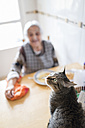 Portrait of tabby cat with senior woman in the background - RAEF000822