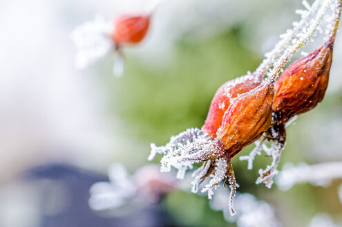 Fruits of rosehip in winter, close-up - MHF000378