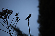 USA, Sacramento, silhouette of a hummingbird - NGF000269