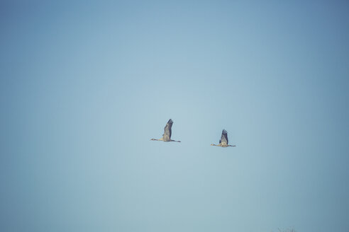 Two flying cranes - ASCF000506