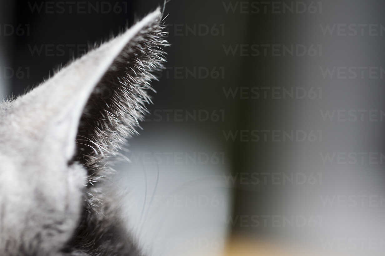 Ear of grey cat, close-up - NGF000279 - Nadine Ginzel/Westend61