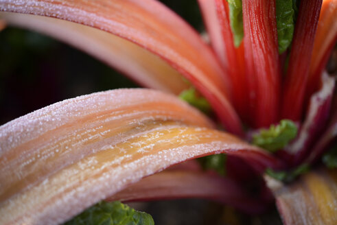 Frost-covered pieplant - GUFF000264