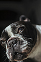 Portrait of French Bulldog - KIJF000151