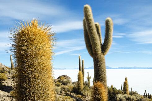 Bolivia, Atacama, Altiplano, Salar de Uyuni, Cacti on Incahuasi island - GEMF000706