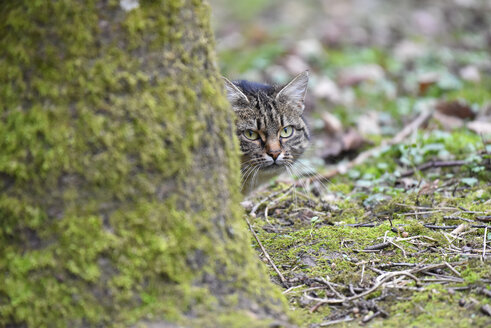 Germany, wildcat watching something - FDF000148