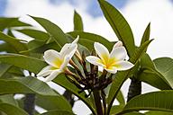 USA, Hawaii, Oahu, Plumeria flower - NGF000300